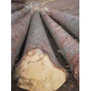 Busteni de molid si paltin de la Sc Woodex Utility Srl