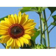 Seminte de floarea-soarelui de la Stec - Co Srl