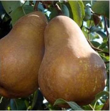 Pomi fructiferi altoiti Peri de la Tudorean Marius Ii