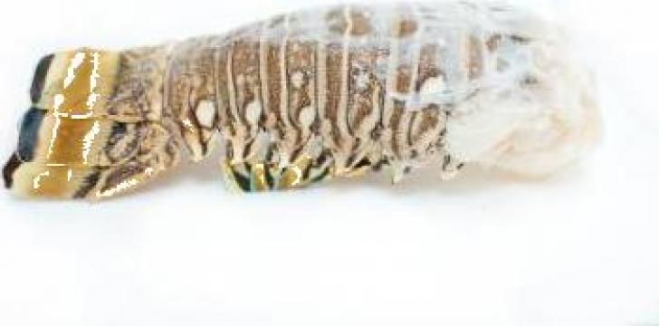 Cozi de languste 16-20 OZ