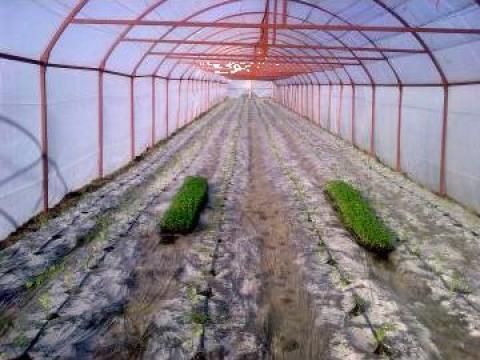 Solarii legume de la