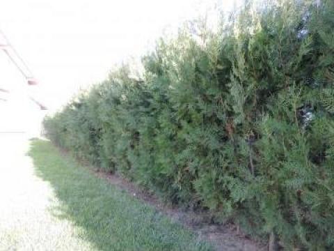 Arbust tuia pentru gard viu de la