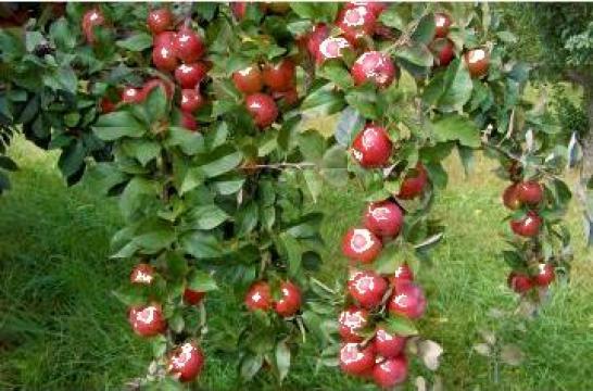 Pomi fructiferi de la
