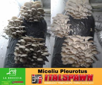 Curs pentru incepatori Cultivarea Ciupercilor Pleurotus