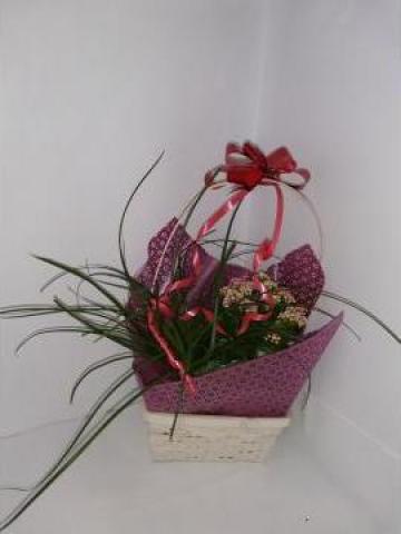 Cos de plante Nollina - Kalanchoe 0073 de la Floraria Stil
