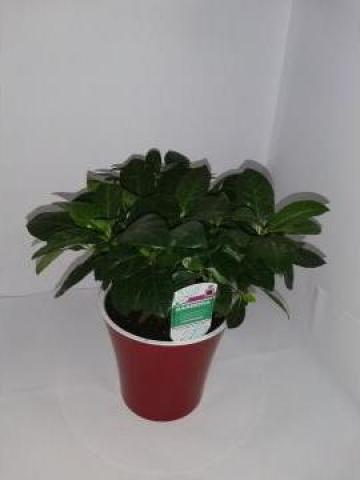Planta de interior Gardenia 0072 de la Floraria Stil
